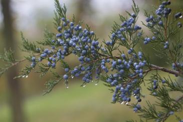 Juniper, one of many healing plants